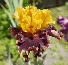"TALL BEARDED IRIS GERMANICA ""HOT DANCING"" Delivery August/September"