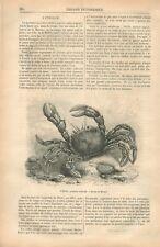 Étrille Necora puber Crabe laineux Macropipidae Mer Océan GRAVURE OLD PRINT 1875