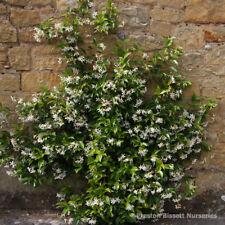 Trachelospermum Jasminoides Star Jasmine 1.6 metres Very Fragant Flowers