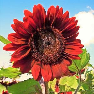 Velvet Queen Sunflower Seeds USA Garden Flowers Big Red Sun Flower Rose For 2021