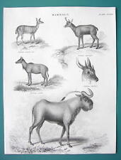 Mammals Antelopes Gni Chickara Scripta - 1837 Fine Quality Antique Print