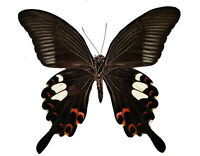 Papilio helenus Red Helen Swallowtail Real Butterfly A1 Lepidoptera US Seller!