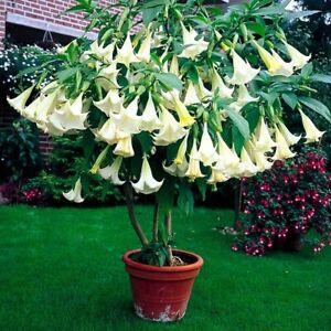 Brugmansia suaveolens Fragrant White Angels Trumpet Plant 100cm Tall Garden
