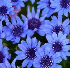Daisy Seeds Felicia Blue Daisy Seeds 50 Seeds