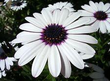 FLOWER OSTEOSPERMUM ECKLONIS SKY AND ICE 60 FLOWER SEEDS