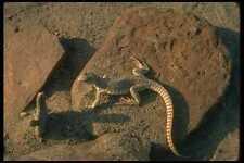 175058 Desert Iguana Lizard A4 Photo Print