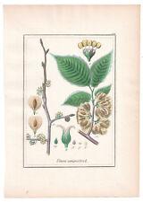 1846, Antique H/C print, Ulmus Campestris, Winkler Medical Botany