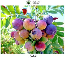 Serbal - Sorbus domestica - 30 semillas - seeds