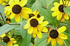 New listing 50 Perennial Black Eyed Susan Seeds - Rudbeckia fulgida