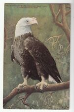 [52437] Old Postcard American White-Headed Bald Eagle New York Zoological Park