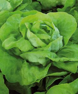Lettuce 250 Analena Seeds - UK Seller