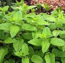LIME BALM Melissa officinalis lime scented foliage herb plant in 100mm pot