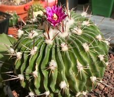 Echinofossulocactus phyllacanthus violaciflorus HARDY CACTUS SEEDS!