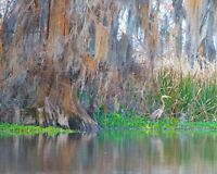 """""""Marshland Heron"""" Great Blue Heron by Britt Johnson Signed and Numbered  24 x 30"""