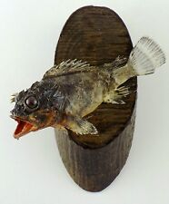 Real fish skin Mount Taxidermy fishing (Trachinus draco )1