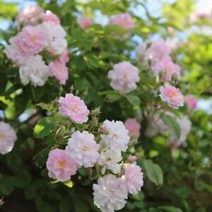 PAUL'S HIMALAYAN MUSK   Rambling Rose  7ltr Potted Rose Plant   Lilac