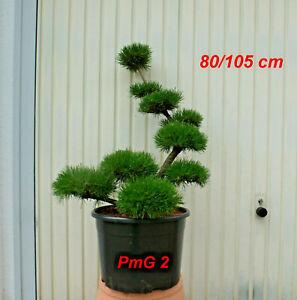 Pinus, Kiefer, Bonsai, Gartenbonsai, Formgehölz, Formschnitt,  Niwaki, PmG 2