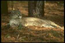 160081 Florida Panther Cougar Lying Down A4 Photo Print