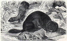 EUROPEAN MINK 1894 Weasel-like Mammal VICTORIAN ENGRAVING