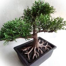 künstlicher Bonsai Baum 20 cm, Kunstpflanze Zeder Deko Baum mit Topf, Kunstbaum