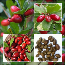 10X Rare Miracle Fruit Synsepalum Dulcificum Seeds Tropical Organic Fruit Seeds