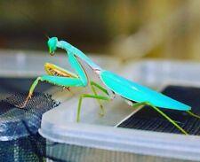 Blue Mantis Hierodula sp Blue L2-3