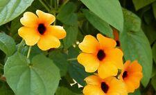 20 Graines de Suzanne aux Yeux Noirs -  fleurs plante terrasse pot méthode BIO
