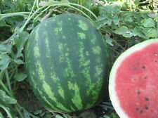 Crimson Sweet Watermelon 10 Finest UK Seeds - Liveseeds