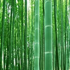 GIANT MOSO BAMBOO SEEDS 50 seeds