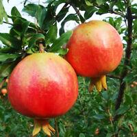 Bulk Seed 50 Pomegranate Seeds Punica Organic Fruit For Garden Home S008
