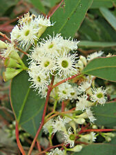 Eucalyptus gracilis (Gum Tree) in 50mm forestry tube native plant tree