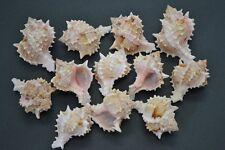 "12 PCS PINK MUREX HERMIT CRAB SEA SHELL BEACH DECOR 2"" - 3"" #7011"