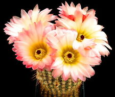 10 Notocactus rutilans SEMI SEEDS SAMEN cactus piante grasse fiori sementi