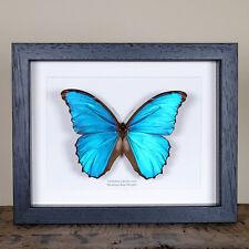 Menelaus Blue Morpho XL Butterfly in Box Frame (Morpho Menelaus)