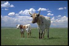 477084 Texas Longhorn Vaca Y Becerro A4 Foto Impresión