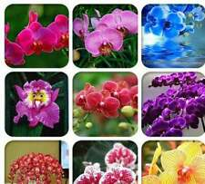 100 PCS Heirloom Phalaenopsis Moth Orchid Perennial Fragrant Bonsai Rare Seeds