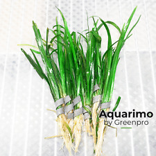 Sagittaria Subulata 6 Bundles Tropical Freshwater Aquarium Live Plant Decoration