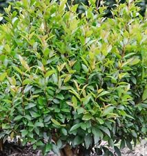 BABY BOOMER Syzygium native DWARF LILLY PILLY plant in 140mm pot