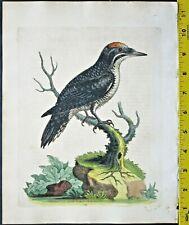 Edwards,Natural History,Three-toed Woodpecker,handc.Engraving,ca. 1748#114