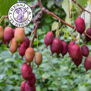 RARE Purple Kiwi Actinidia purpurea 10 seeds UK SELLER