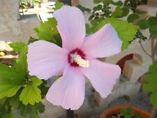 30 semi Hibiscus Syriacus Ibisco cinese color malva Rose of Sharon seeds