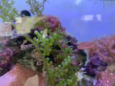 More details for caulerpa racemosa green grape marine macro algae