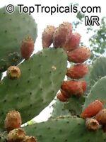 Opuntia ficus-indica, Kaktusfeige, 20 Samen