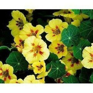 NASTURTIUM 'Peach Melba' 12+ seeds UNUSUAL yellow EDIBLE FLOWER HEIRLOOM garden