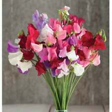 25+ Sweet Pea Vine Flower Seeds Lathyrus Odoratus Most Fragrant Annual Perennial