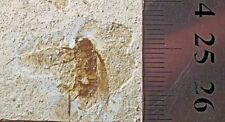 More details for fine 2cm cockroach with wings/veination/ appendages; cretaceous of brazil