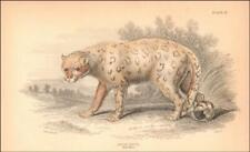 SNOW LEOPARD, Felis Uncia, hand colored engraving, Jardine, original 1843