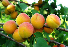 Aprikose «KAUNAS» Aprikosen Baum Marille Apricot
