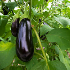 200 Graines d'Aubergine Solanum Melongena Eggplant Black Beauty seeds