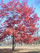 12 SCARLET OAK ACORNS - Quercus coccinea